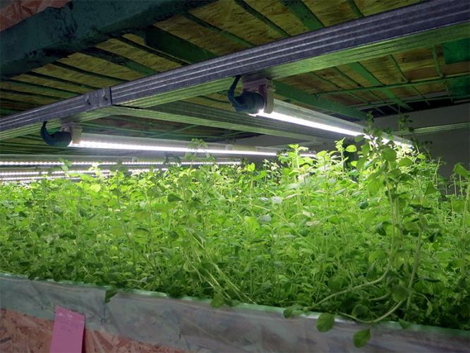 Вирощування зелені або як швидко окупити велике капіталовкладення в Україні