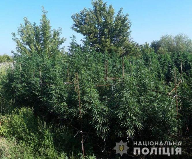 В Константиновском районе ликвидировали плантацию двухметровой конопли
