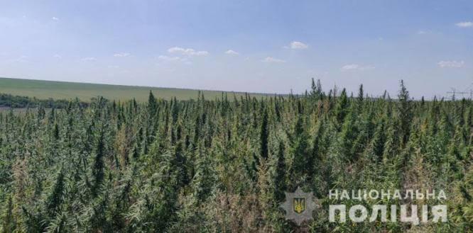 Под Константиновкой полицейскими уничтожено более гектара конопли